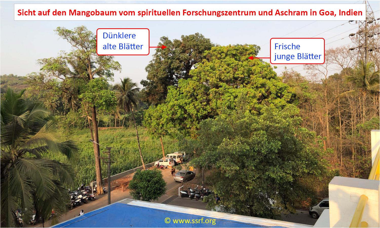 Unterschiedliche Blätterfarben eines Mangobaumes