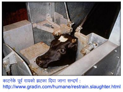 4.HIN_Stunning-before-slaughter