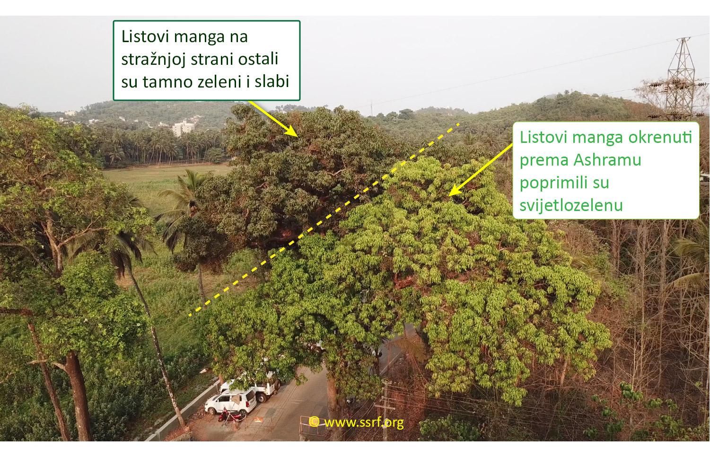 Različite boje listova stabla manga