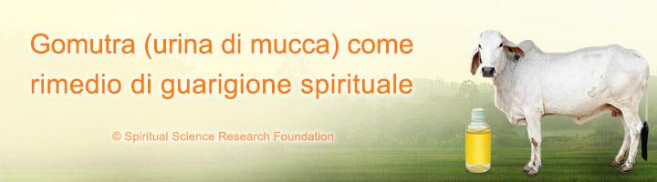 Gomutra (urina di mucca) come rimedio di guarigione spirituale