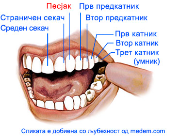 7_MKD_Canine-teeth-non-veg