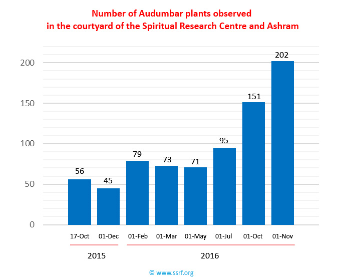 Number of Audumbar plants at the Spiritual Research Centre in Goa, India