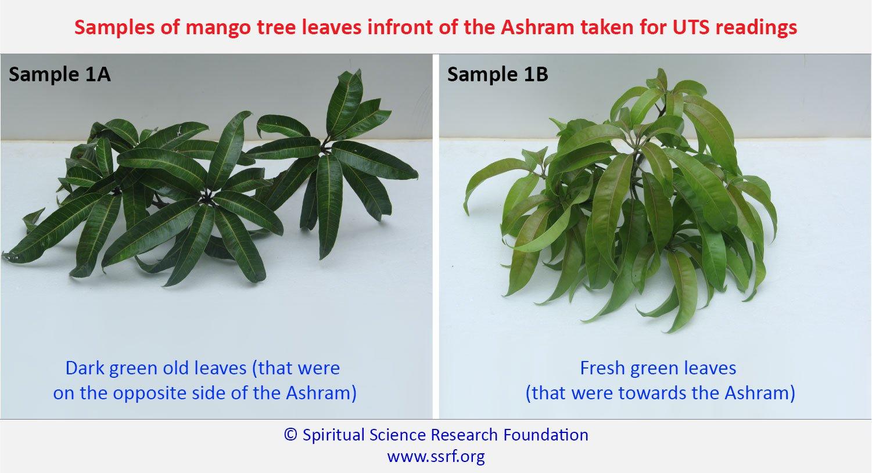Samples of mango tree leaves