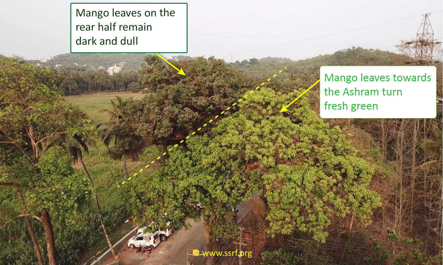 Two halves of a mango tree behaving differently