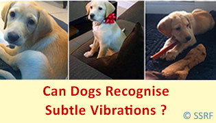 Can Dogs Recognise Subtle Vibrations ?