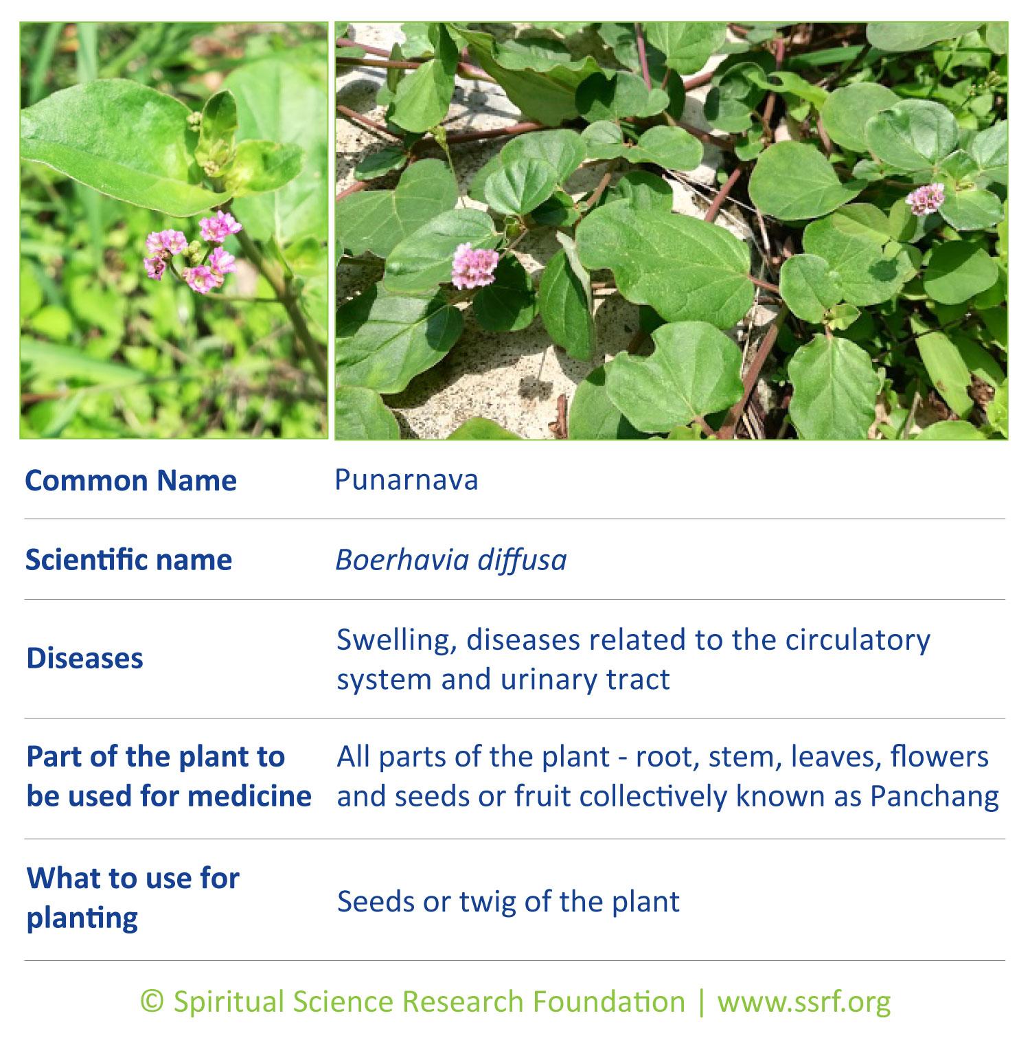 Small-plants-10-Punarnava
