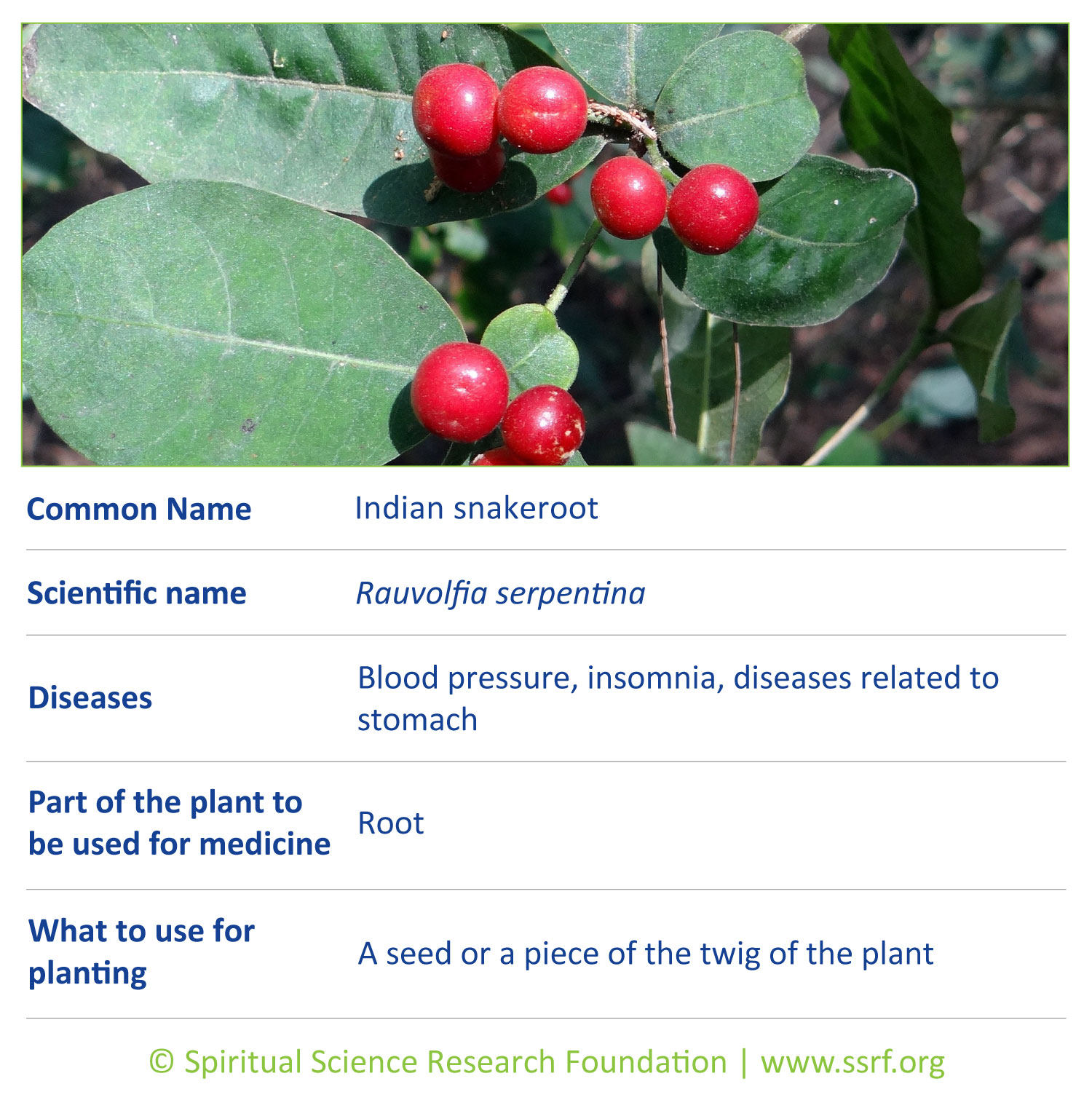 Small-plants-16-Indian-snakeroot