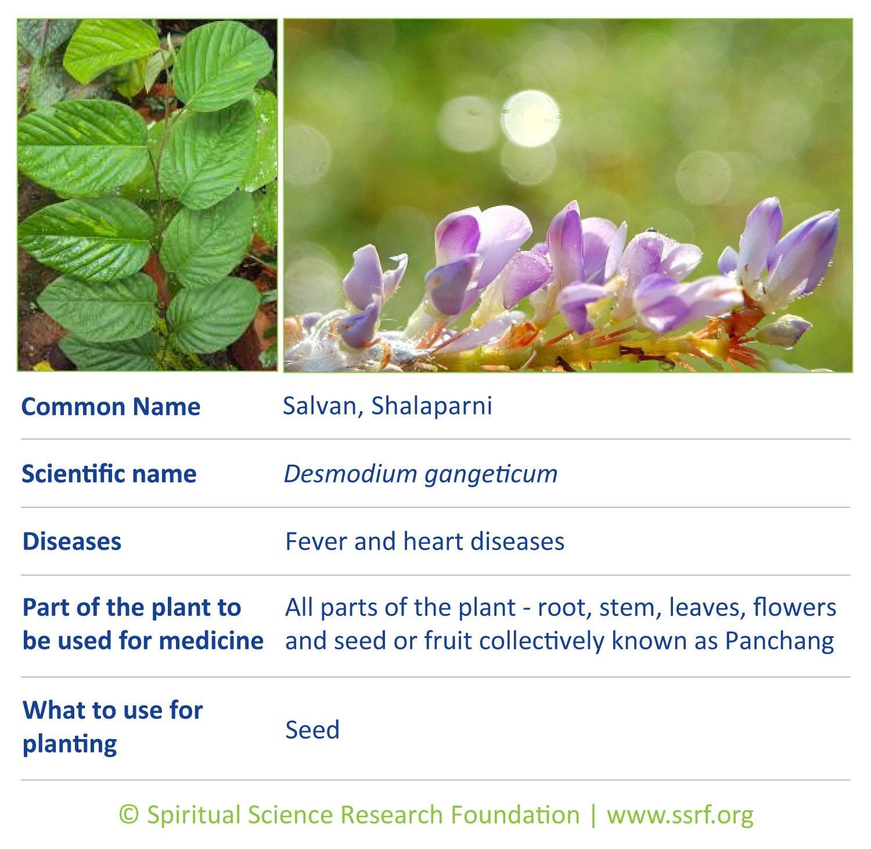 Small-plants-17-Salvan