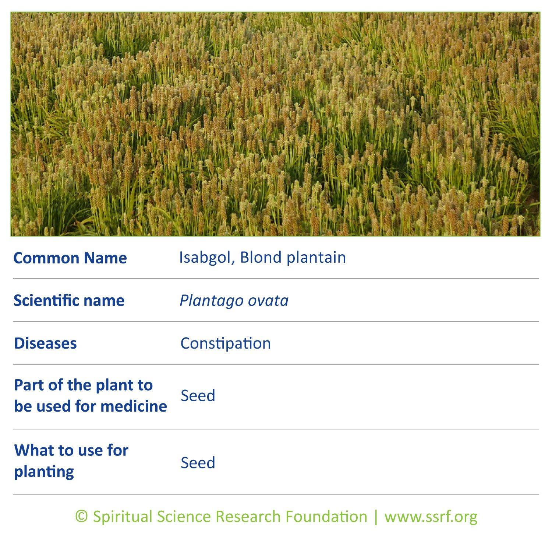 Small-plants-3-Isabgol