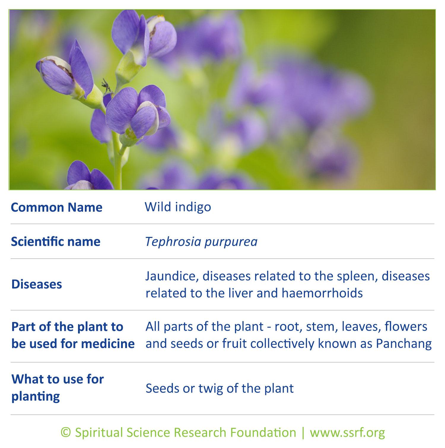 Small-plants-4-Wild-indigo