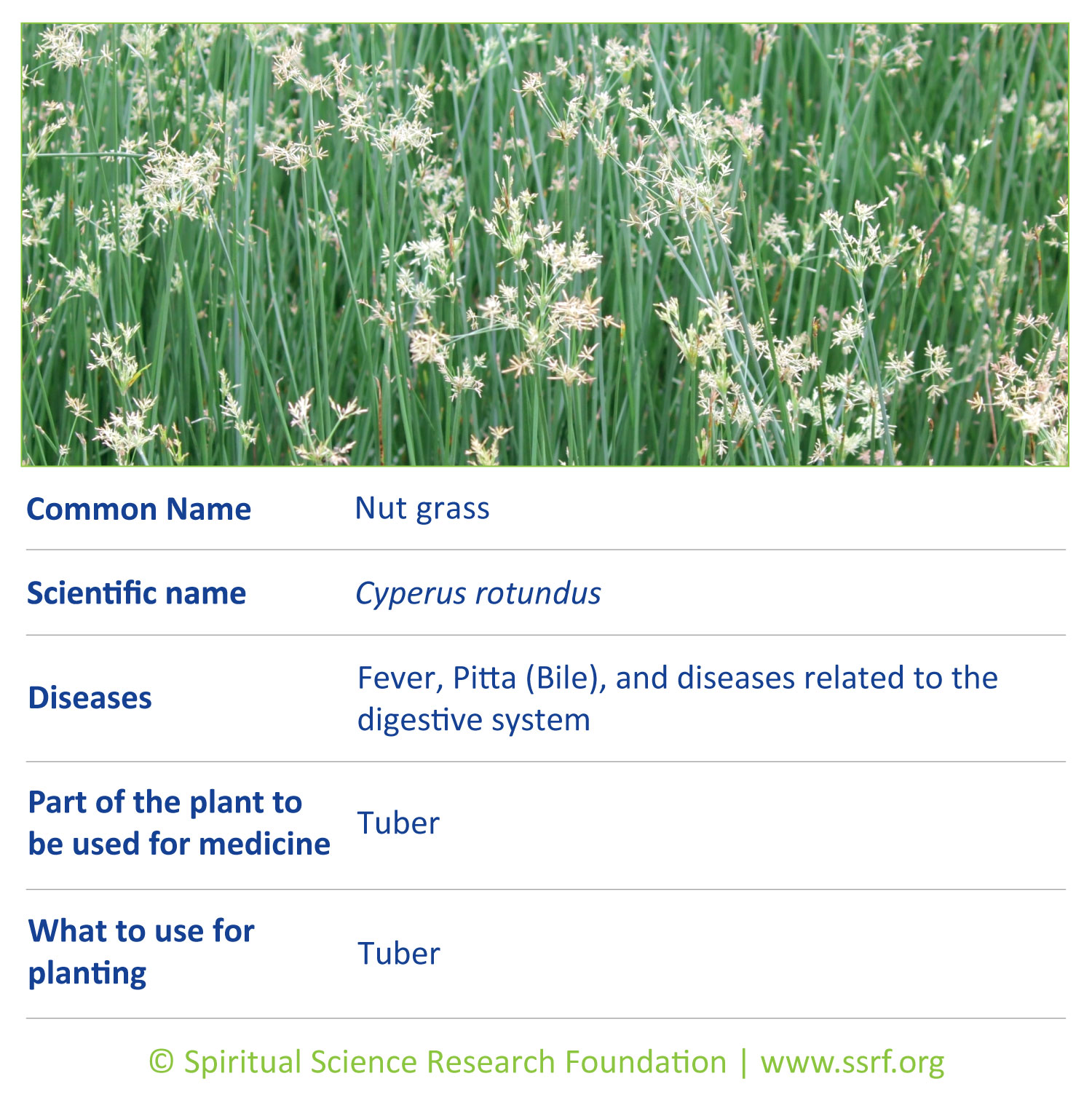 Small-plants-6-Nut-grass