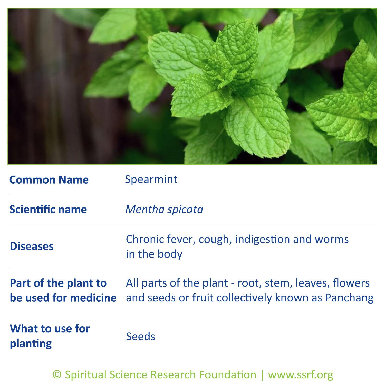 Small-plants-9-Spearmint