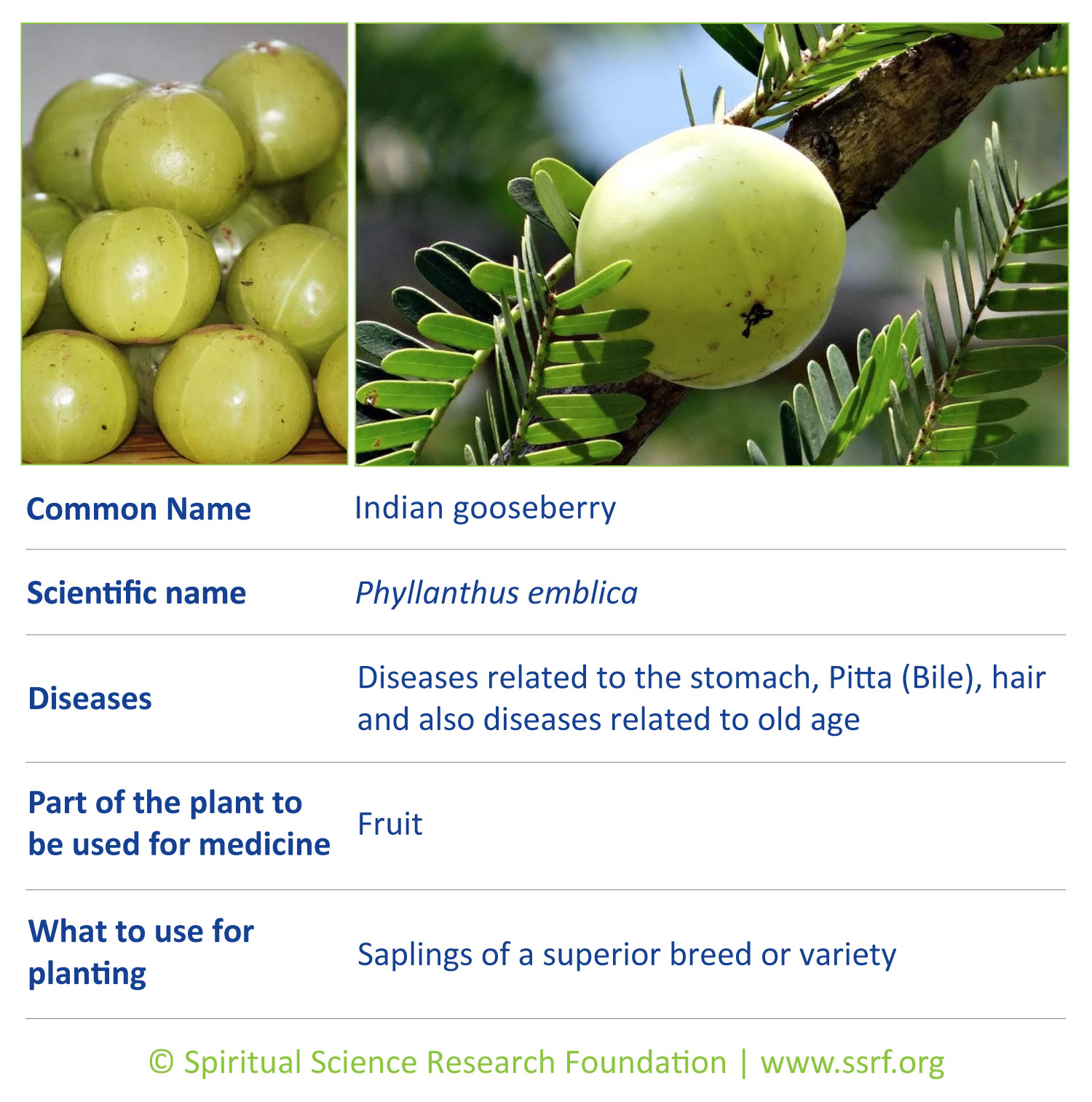Trees-1-Indian-gooseberry