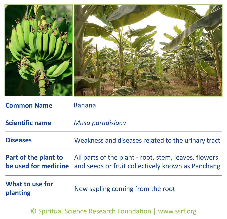 Trees-4-Banana