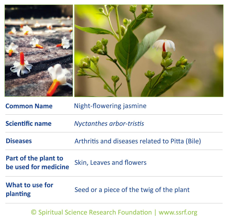Trees-5-Night-flowering-jasmine