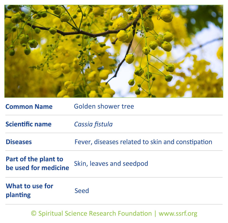 Trees-6-Golden-shower-tree