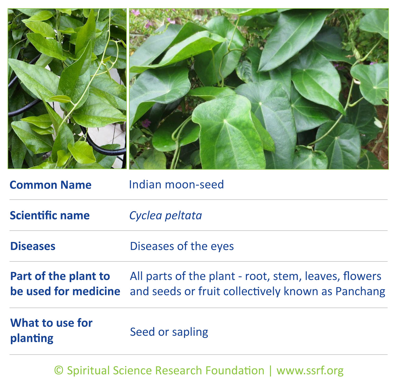 Vines-4-Indian-moon-seed