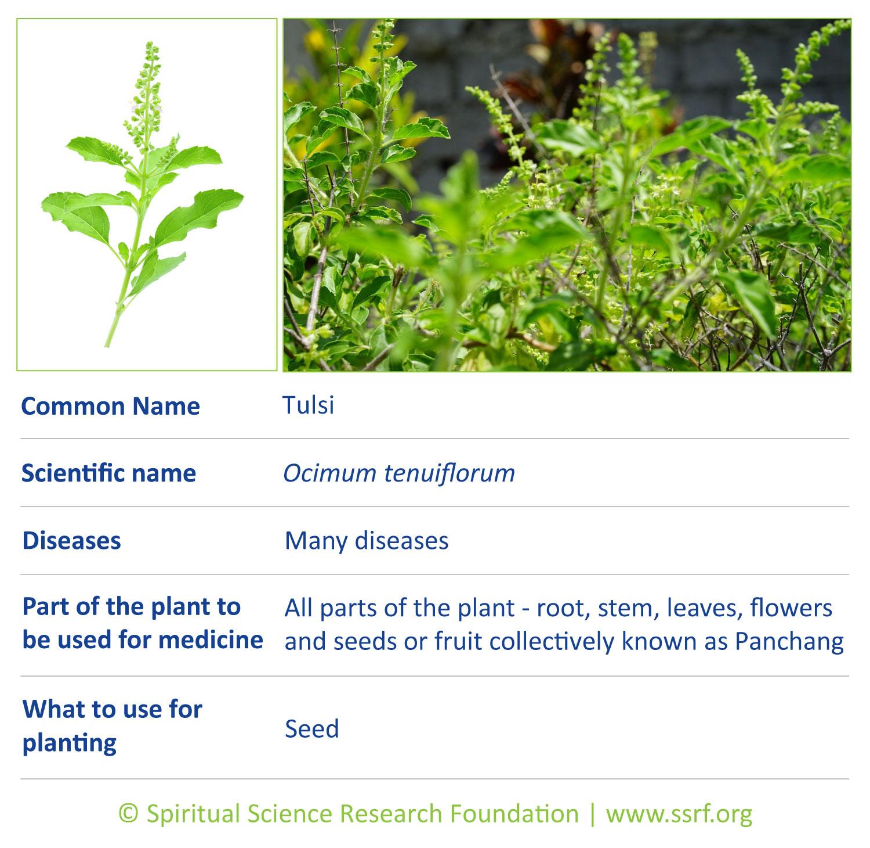 herbs-1-Tulsi