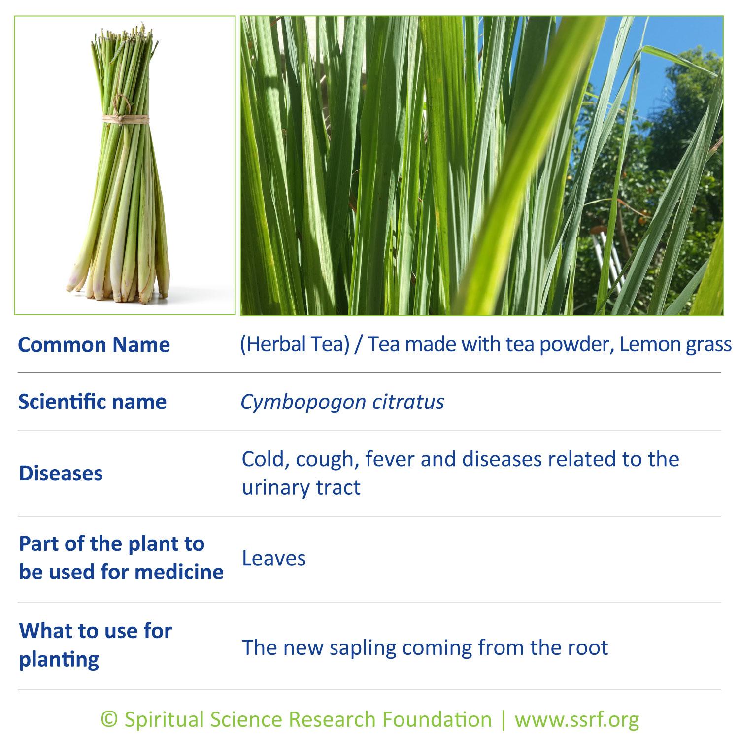 herbs-10-Lemon-grass