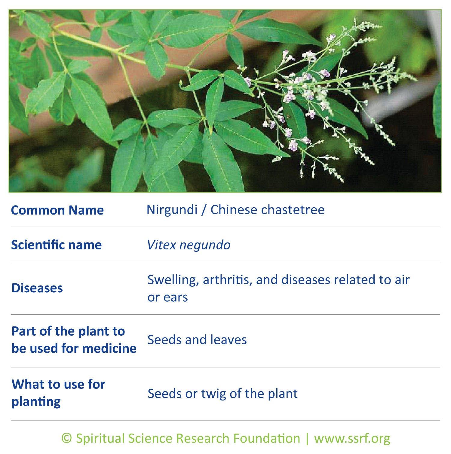herbs-11-Nirgundi