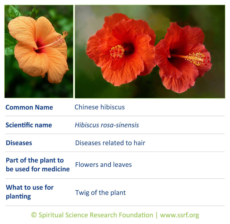 herbs-12-Chinese-hibiscus