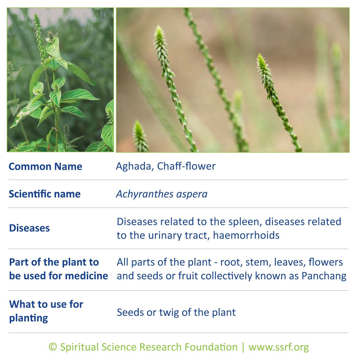 herbs-13-Chaff-flower