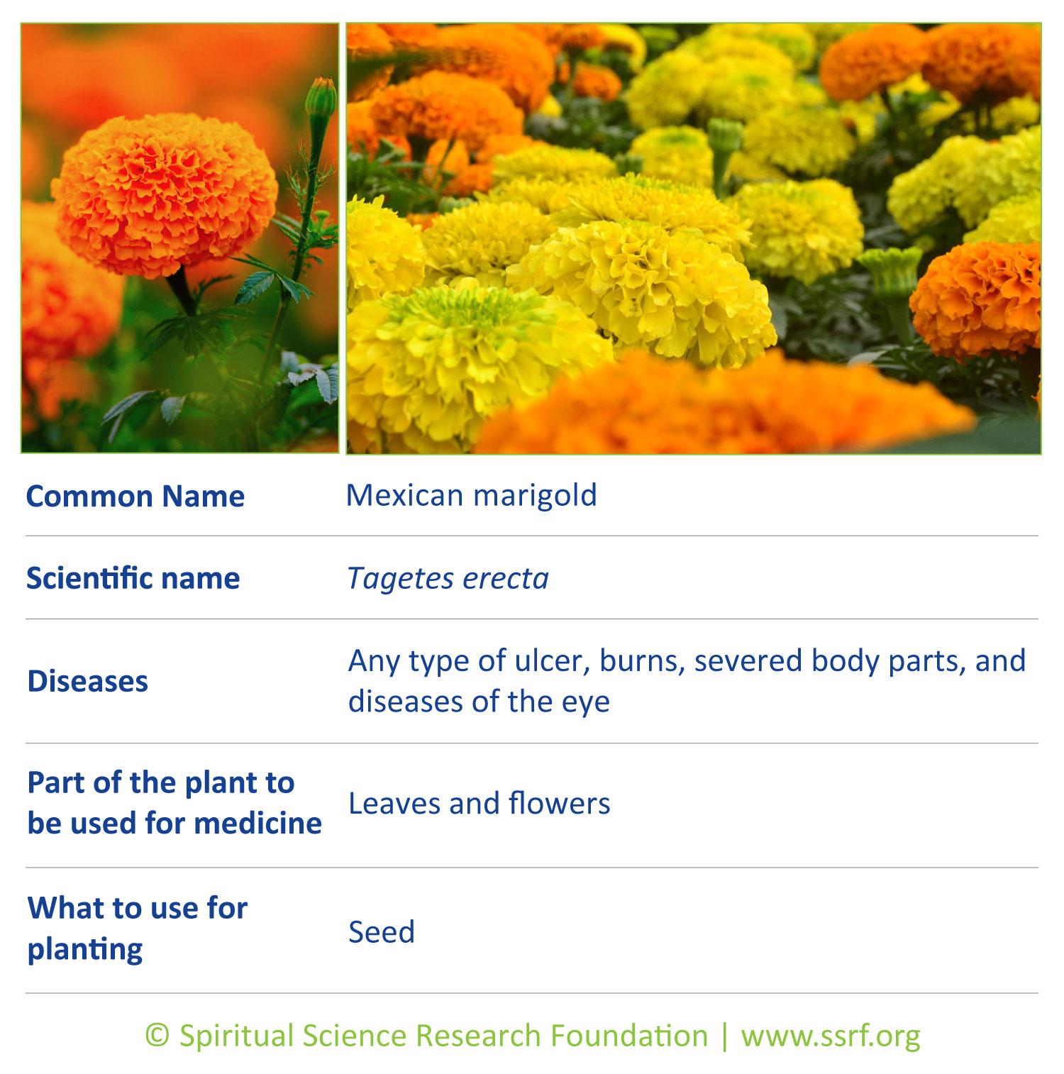 herbs-15-Mexican-marigold