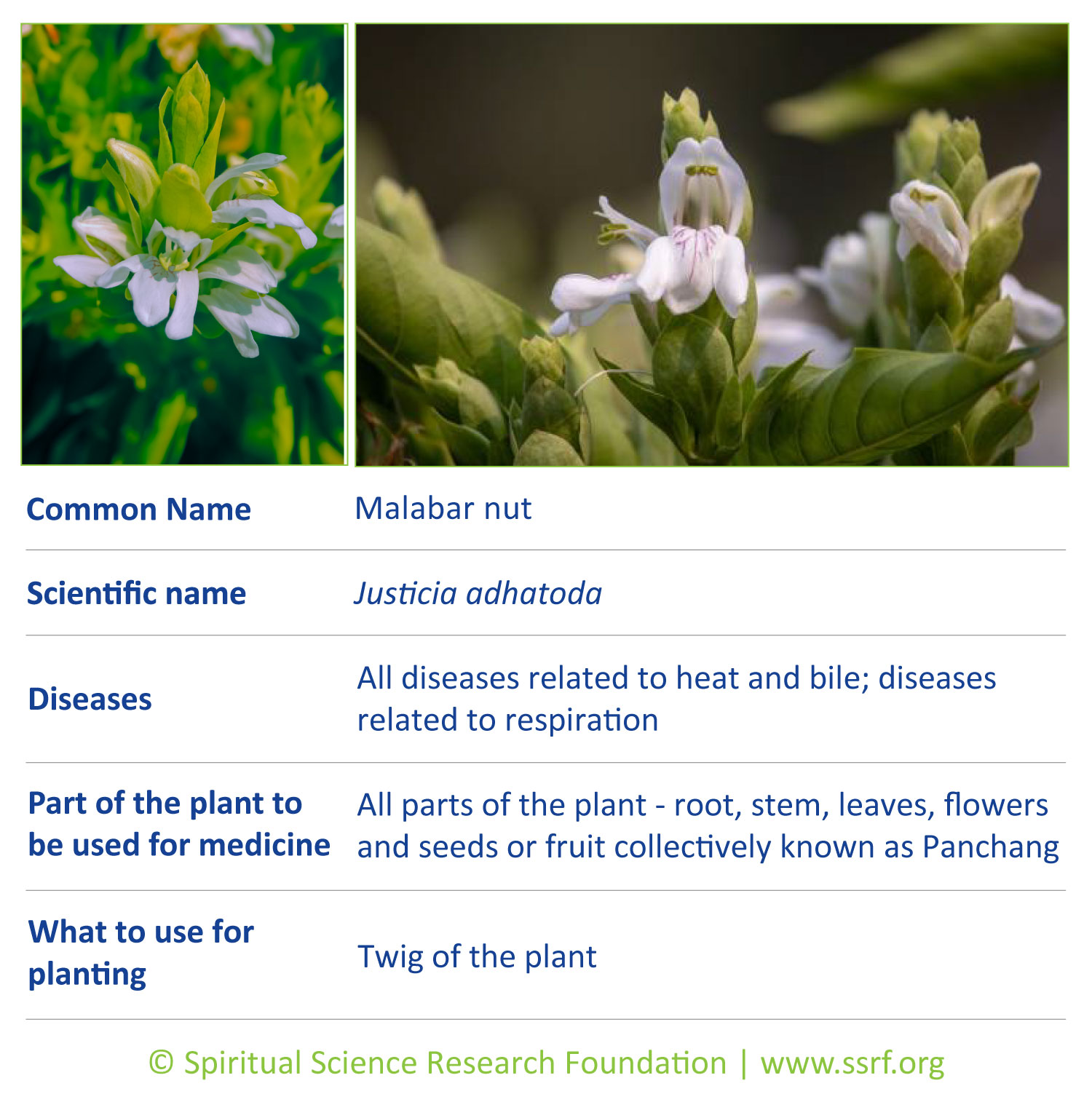 herbs-6-Malabar-nut