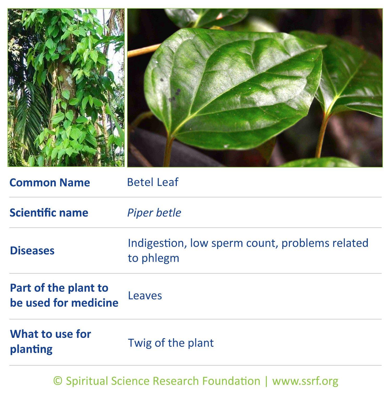 herbs-9-Betel-Leaf