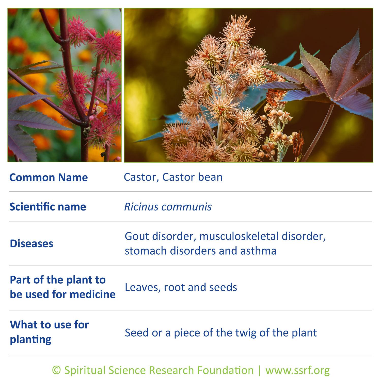 shrubs-1-Castor