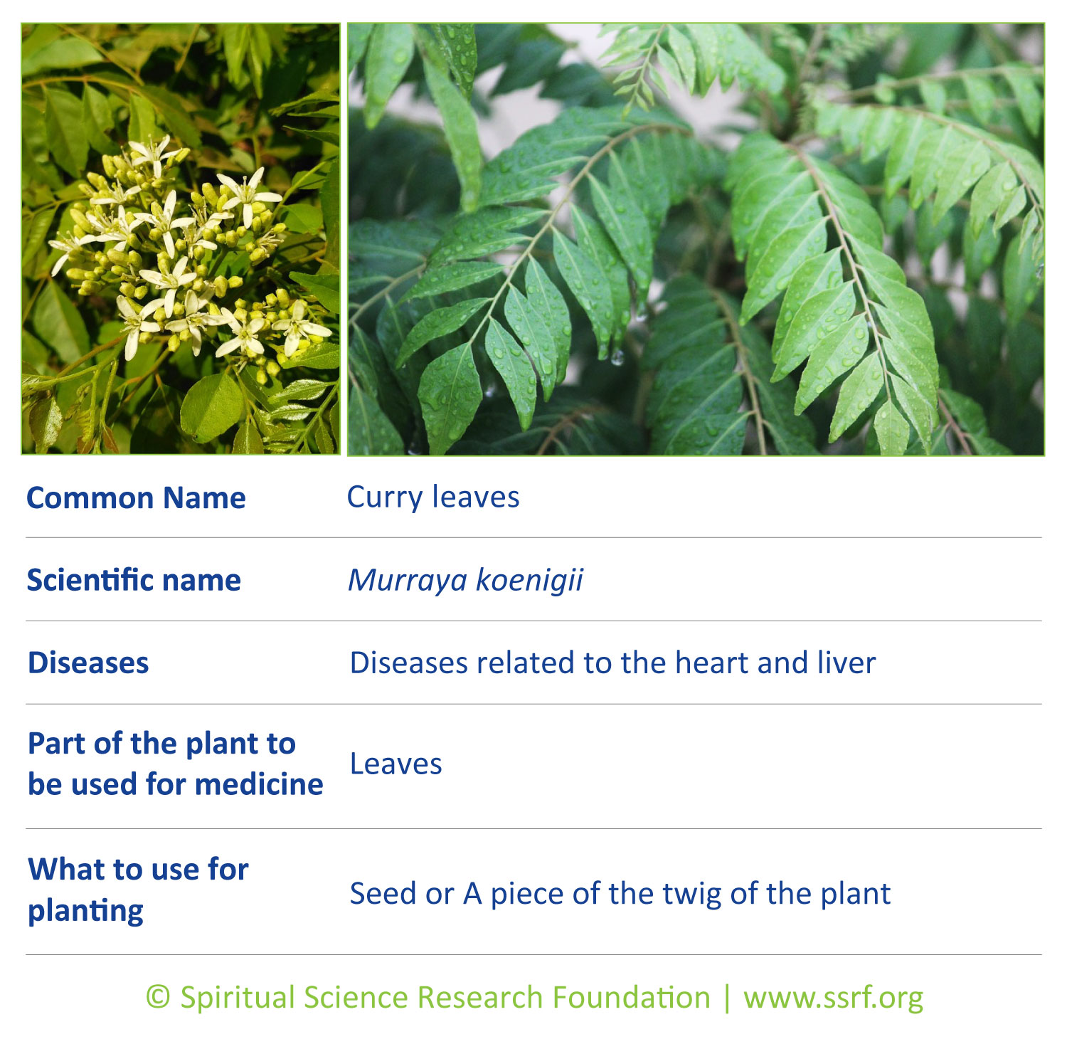shrubs-2-Curry-leaves