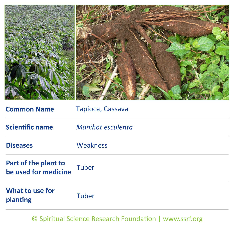 shrubs-4-Tapioca