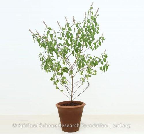Sattvik or spiritually pure plants